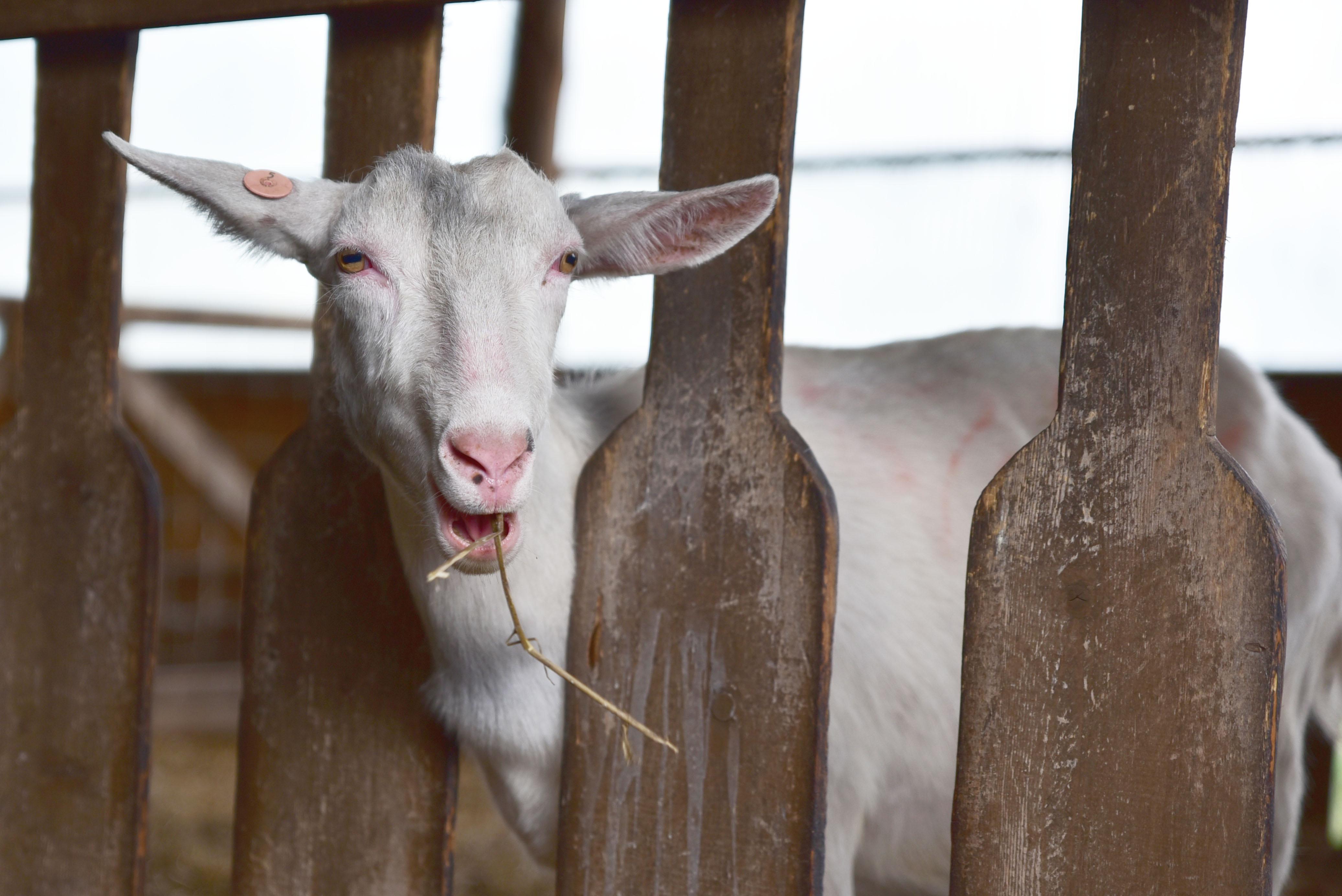 羊とヤギに会いにドライブへ 十勝千年の森 in 北海道清水町