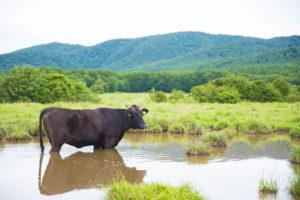 動物写真、牛写真