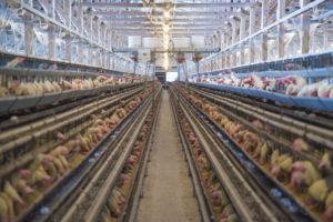 鶏写真、動物写真