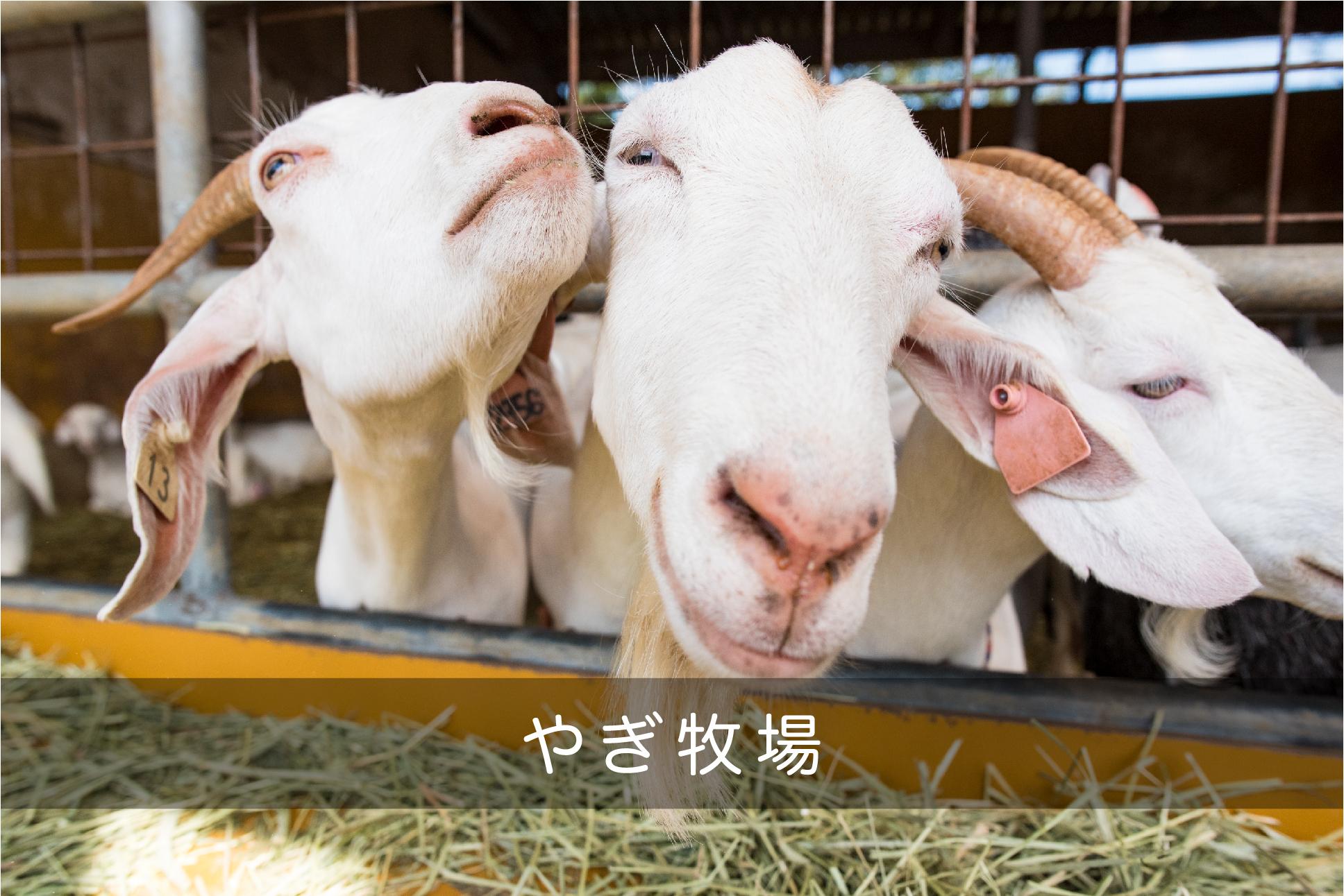 やぎ牧場へ行ってきた!|日本一周農家旅 今牧場と南ヶ丘牧場 in 栃木県那須
