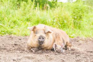 豚写真 動物写真