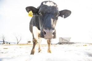 牛写真 動物写真