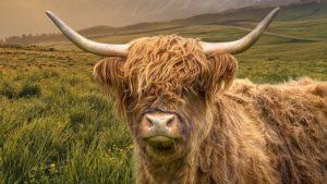 スコティッシュハイランドキャトルって牛さんを知ってますか?